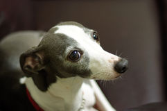 Italian Greyhound royalty free stock photos
