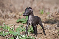 Italian greyhound Stock Photos