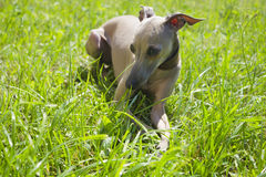 Italian greyhound Royalty Free Stock Image