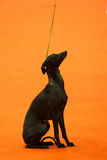 Italian greyhound stock images