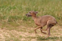 Italian Greyhound. Run on ground royalty free stock images