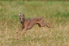 Italian Greyhound. Run on grass stock photography
