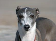 Italian Greyhound Stock Image