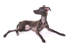 Italian greyhound Royalty Free Stock Photography