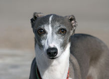 Italian Greyhound Stock Image