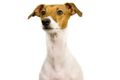 Italian greyhound begging Stock Images