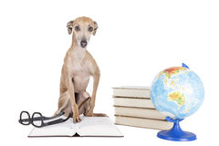 Italian greyhound with books and globe Stock Photos