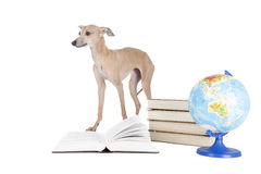 Italian greyhound with books and globe Royalty Free Stock Photo