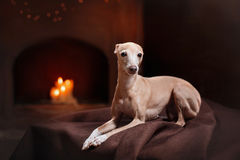 Italian greyhound on a color background in studio. Dog breed Italian greyhound on a color background in studio royalty free stock images