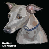 Italian Greyhound colorful vector portrait Stock Image