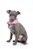 Italian Greyhound dog Royalty Free Stock Image