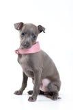 Italian Greyhound dog. Italian Greyhound puppy sitting on a white background in a studio royalty free stock image