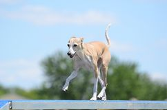 Italian Greyhound at Dog Agility Trial Stock Images