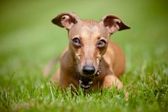 Italian greyhound dog with a cone Royalty Free Stock Photo