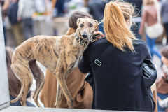 Italian Greyhound dog with his female owner. Stock Photography
