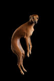 Italian Greyhound Dog Jumping, Hangs in Air, Looking Camera isolated Royalty Free Stock Photo