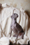 Italian greyhound dog lying on the couch Royalty Free Stock Photography