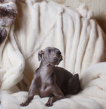Italian greyhound dog lying on the couch Royalty Free Stock Images