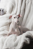 Italian greyhound dog lying on the couch Stock Images