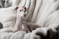 Italian greyhound dog lying on the couch Stock Photography
