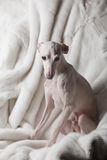 Italian greyhound dog lying on the couch Royalty Free Stock Photo