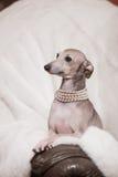 Italian greyhound dog lying on the couch. Playful Italian Greyhound on a couch with a chew toy royalty free stock photo