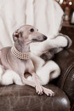 Italian greyhound dog lying on the couch Stock Photos