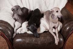 Italian greyhound dog lying on the couch Royalty Free Stock Photos