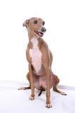 Italian Greyhound dog with mouth open. Italian greyhound dog sitting on a white background Stock Photo