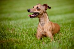 Italian greyhound dog portrait Stock Photos