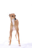 Italian Greyhound dog standing. Against a white background Stock Image