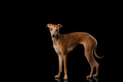 Italian Greyhound Dog Standing on Mirror, Looking in Camera isolated Royalty Free Stock Photo