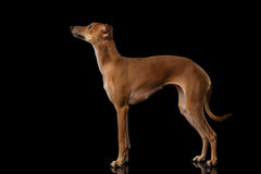 Italian Greyhound Dog Standing on Mirror, Looking up isolated Black Royalty Free Stock Photo