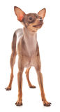 The Italian Greyhound in the game Stock Photo
