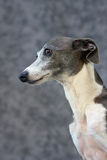 Italian Greyhound I Stock Photos