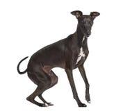 Italian Greyhound isolated on white Stock Image