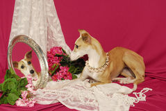 Italian Greyhound Lokking into Mirror Royalty Free Stock Photography