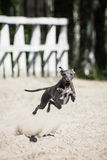 The Italian Greyhound lure coursing competition. The Italian Greyhound lure at coursing competition Stock Photography