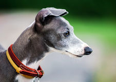Italian Greyhound playing in countryside park Royalty Free Stock Image