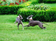 Italian Greyhound playing in countryside park Royalty Free Stock Photo
