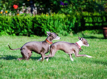 Italian Greyhound playing in countryside park Royalty Free Stock Photography