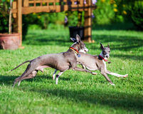 Italian Greyhound playing in countryside park Stock Photography