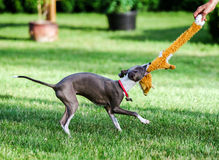 Italian Greyhound playing in countryside park Stock Images