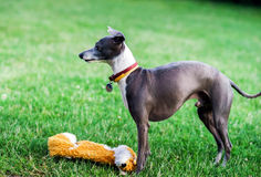 Italian Greyhound playing in countryside park Stock Photos