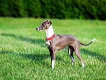 Italian Greyhound playing in countryside park Stock Image