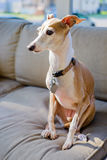 Italian Greyhound Royalty Free Stock Photo