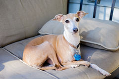 Italian Greyhound Royalty Free Stock Images