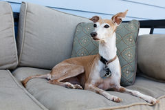 Italian Greyhound Royalty Free Stock Photography