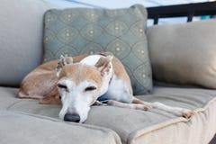 Italian Greyhound Stock Images