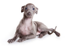 Italian greyhound puppy Stock Image